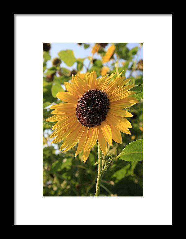 Sunflowers Framed Print featuring the photograph Brilliant By Association by Alan Rutherford