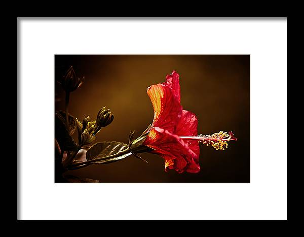 Hibiscus Framed Print featuring the photograph Brilliant Hibiscus by Keith Allen