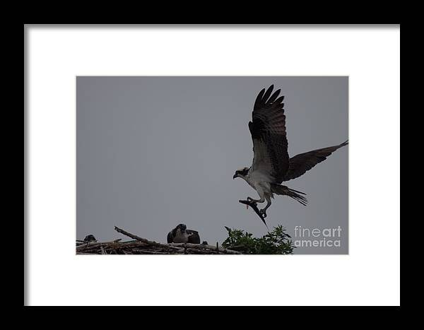Ospreys Framed Print featuring the photograph Bringing Home Breakfast by David Bishop