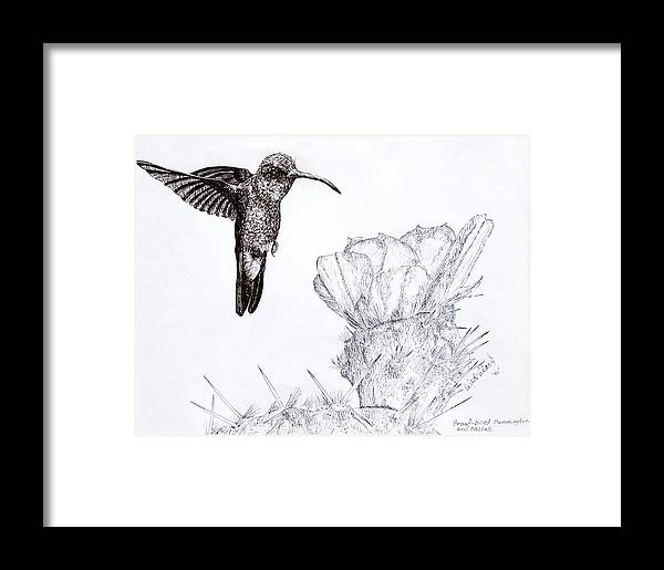 Wildlife Framed Print featuring the drawing Broadbilled Hummingbird by Wade Clark
