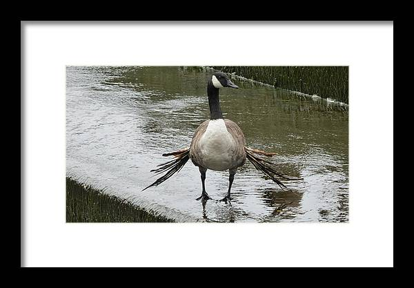 Goose Framed Print featuring the photograph Broken Winded Goose On Lower Weir by Richard Griffin