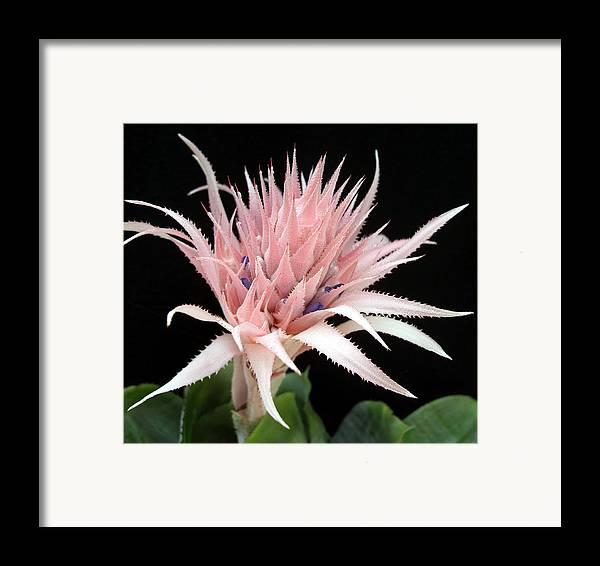 Bromeliad Framed Print featuring the photograph Bromeliad by Frederic Kohli