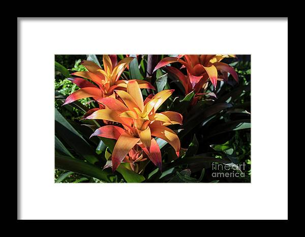 Succulent Framed Print featuring the photograph Bromeliads by Judy Wolinsky