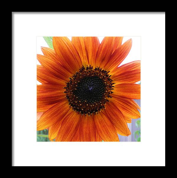 Flower Framed Print featuring the photograph Bronze Sunflower No 2 by Jeanette Oberholtzer