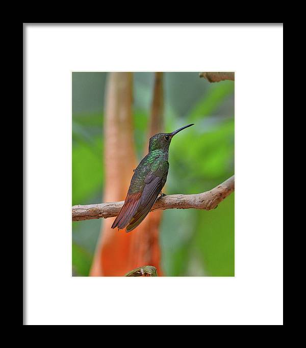 Framed Print featuring the photograph Bronze-tailed Plumeleteer by Burt Finkelstein