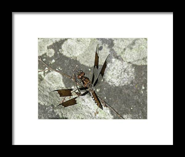 Dragonfly Framed Print featuring the photograph Brown Dragonfly by Mother Nature
