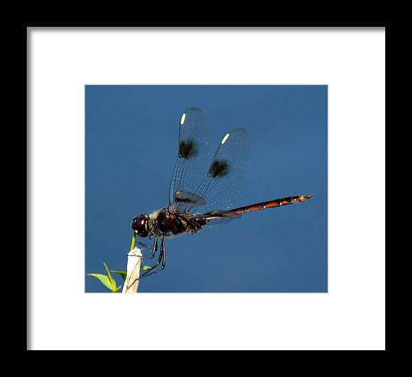 Dragonfly Framed Print featuring the photograph Brown Dragonfly Hanging On by Reva Steenbergen