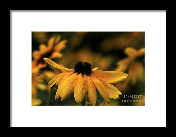 Flower Framed Print featuring the photograph Brown Eyed Susan by Dot Lestar