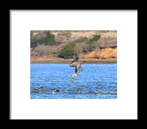 Wildlife Framed Print featuring the photograph Brown Pelican Diving by Wingsdomain Art and Photography