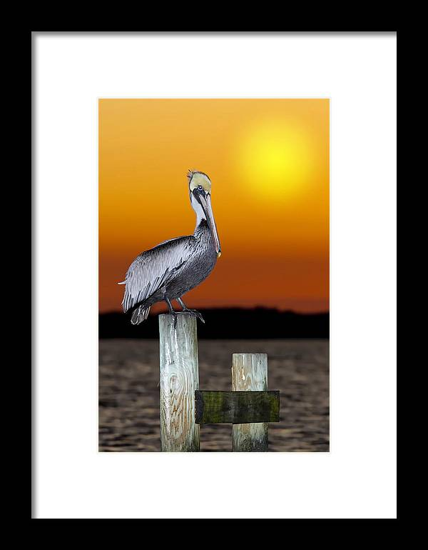 Brown Pelican Framed Print featuring the photograph Brown Pelican by Janet Fikar