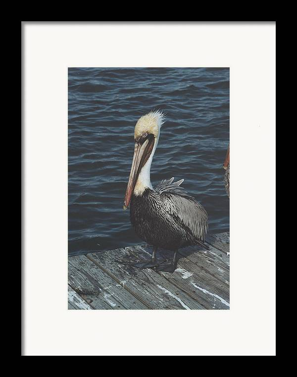 Bird Framed Print featuring the photograph Brown Pelican On Pier by Wendell Baggett