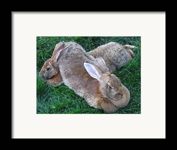 Rabbit Framed Print featuring the photograph Brown Rabbits by Melissa Parks