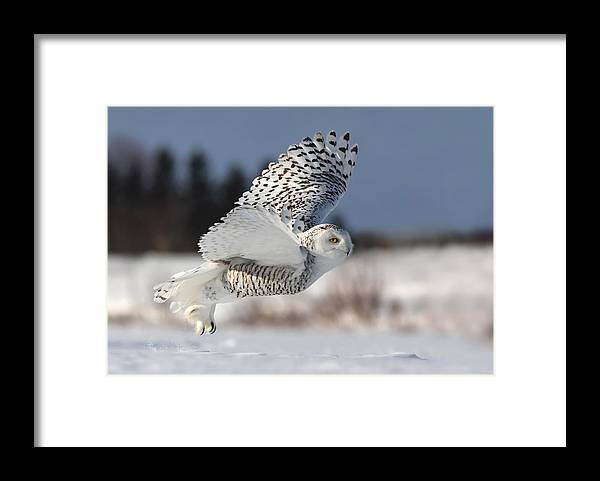 Nature Framed Print featuring the photograph Bubo Scandiacus by Mircea Costina