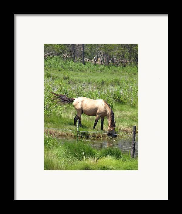 Buckskin Framed Print featuring the photograph Buckskin Stallion by Kim