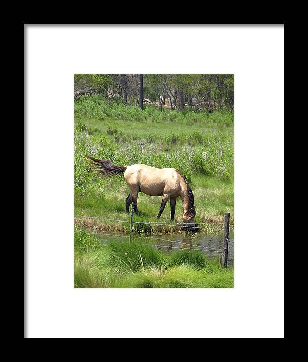 Buckskin Framed Print featuring the photograph Buckskin Stallion by Kim
