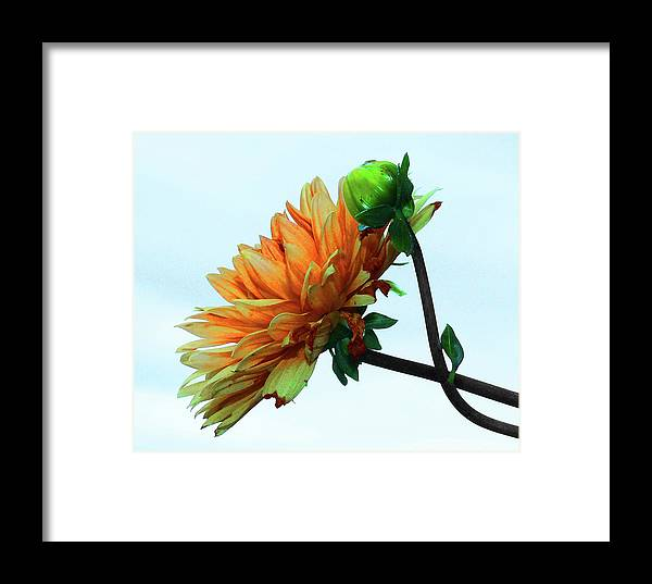 Flowers Framed Print featuring the photograph Bud And Blossom by Stuart Harrison