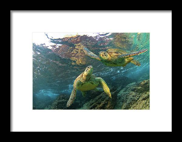 Maui Hawaii Turtles Black Rock Sealife Oceanlife Framed Print featuring the photograph Friends by James Roemmling