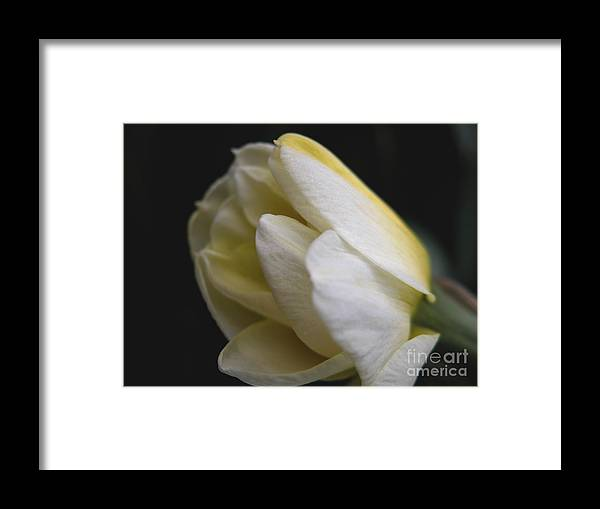 Flower Framed Print featuring the photograph Budding Narcissus by Michelle Hastings