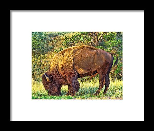 Custer State Park Framed Print featuring the photograph Buffalo Custer State Park by Tommy Anderson