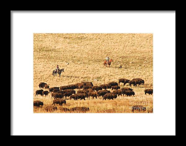 Utah Framed Print featuring the photograph Buffalo Roundup by Dennis Hammer