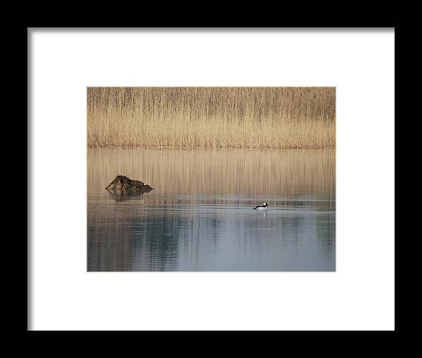 Nature Framed Print featuring the photograph Buffle Head Duck by Peggy King