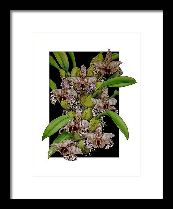 Orchids Framed Print featuring the painting Bulbophyllum Sumatranum by Darren James Sturrock
