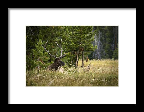 Elk Framed Print featuring the photograph Bull Elk by Chad Davis