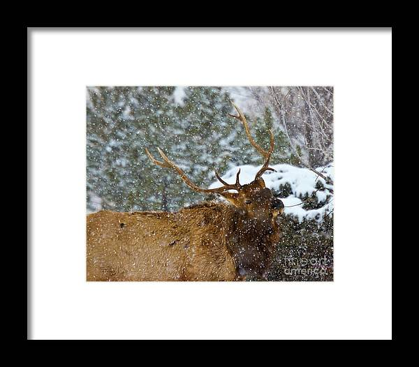 Animal Framed Print featuring the photograph Bull Elk Greeting by Crystal Garner