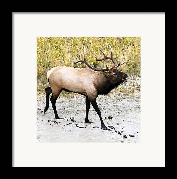 Elk Framed Print featuring the photograph Bull Elk by Tiffany Vest