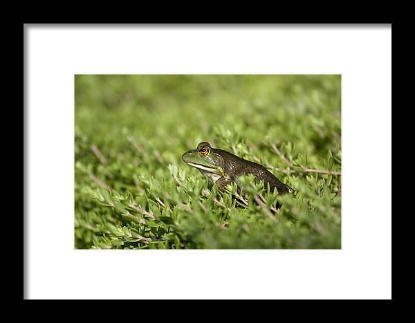 Amphibian Framed Print featuring the photograph Bull Frog by Tina B Hamilton