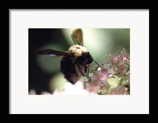 Framed Print featuring the photograph Bumblbee Bzzz by Curtis J Neeley Jr