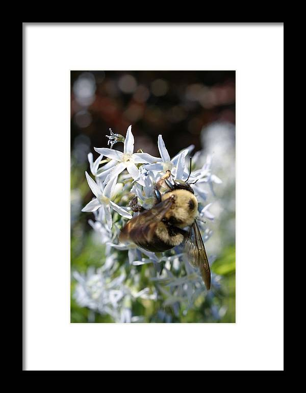 Bumble Bee Framed Print featuring the photograph Bumble Bee by Tina McKay-Brown