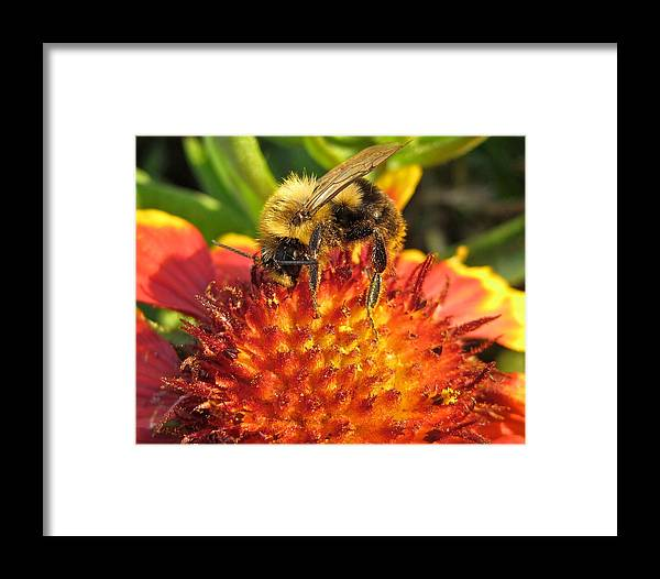 Animal Framed Print featuring the photograph Bumble Bee Vii by Michele Stoehr