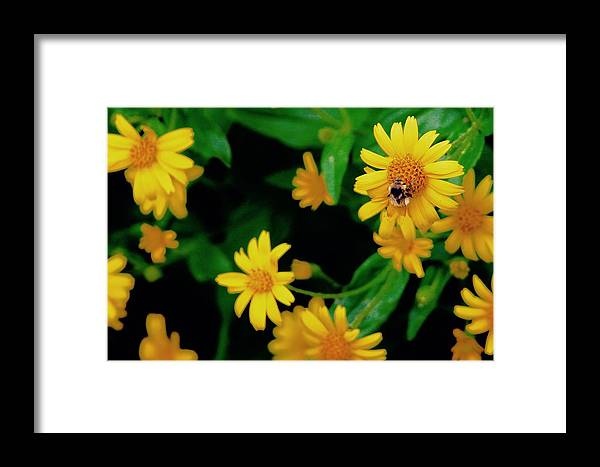 Framed Print featuring the photograph Bumblebee by Matthew Justis