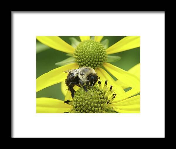 Bumblebee Framed Print featuring the photograph Bumblebee by Tina B Hamilton