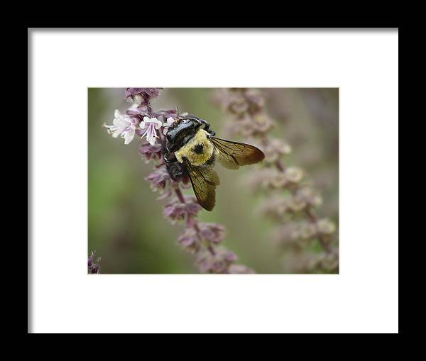 Bumblebee Framed Print featuring the photograph Bumblebee Wings by Tina B Hamilton
