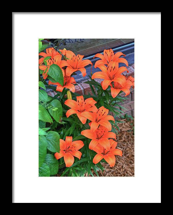 Bunch Framed Print featuring the photograph Bunch Of Orange Lilies by Douglas Barnett