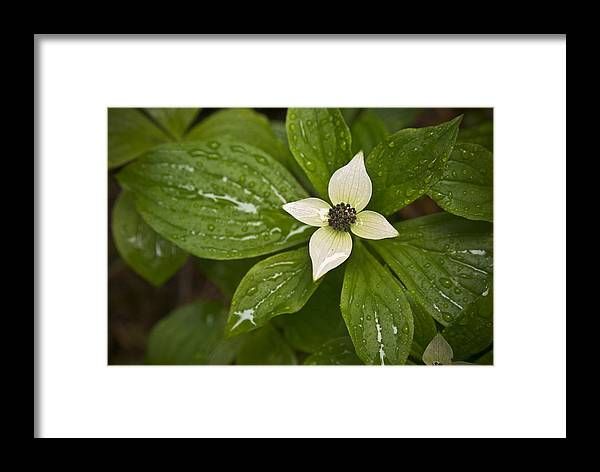 Chad Davis Framed Print featuring the photograph Bunchberry Cornus Canadensis by Chad Davis