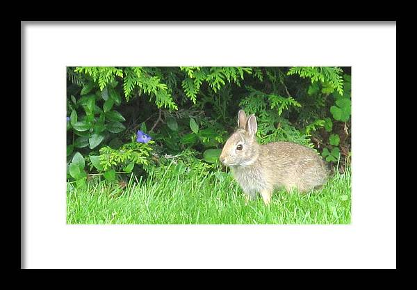 Rabbit Framed Print featuring the photograph Bunny In Repose by Ian MacDonald