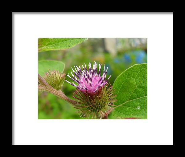Burdock Framed Print featuring the photograph Burdock by Peggy King