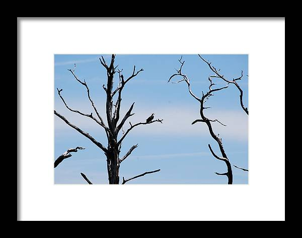 Wildlife Framed Print featuring the photograph Burnt-tree Osprey by Peter McIntosh