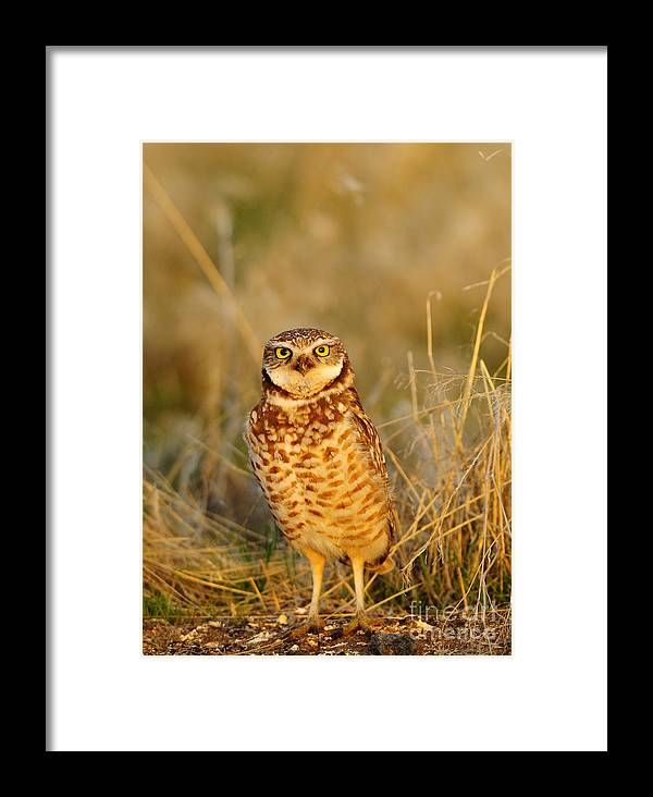 Bird Framed Print featuring the photograph Burrowing Owl At Dawn by Dennis Hammer