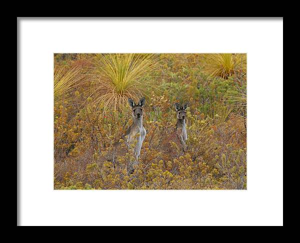 Kangaroo Framed Print featuring the photograph Bush Kangaroos by Tony Brown
