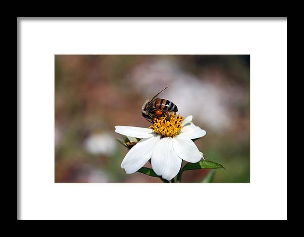Bee Photography Framed Print featuring the photograph Busy Bee 3 by Evelyn Patrick