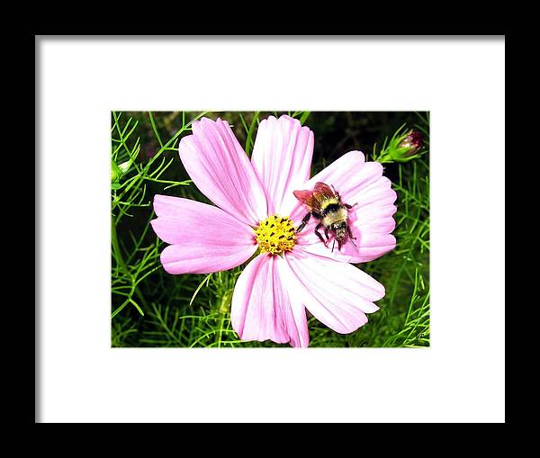 Bee Framed Print featuring the photograph Busy Bee by Will Borden