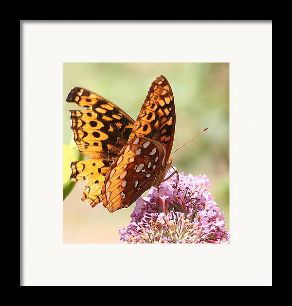 Framed Print featuring the photograph Butter Fly Thrown Looking Right by Curtis J Neeley Jr