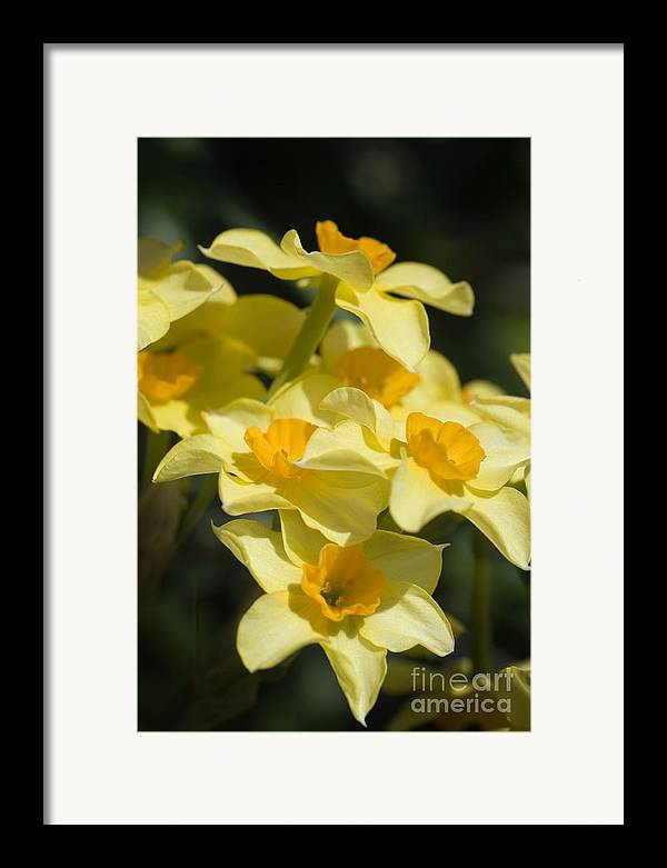 Daffodil Framed Print featuring the photograph Buttercups by Jeannie Burleson