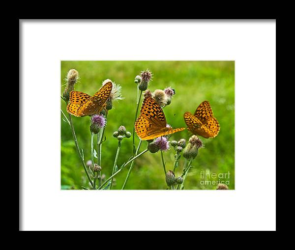 Butterfly Framed Print featuring the photograph Butterflies by Andrew Kazmierski