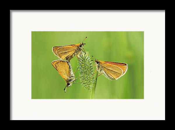 Delaware Framed Print featuring the photograph Butterflies by Mircea Costina Photography
