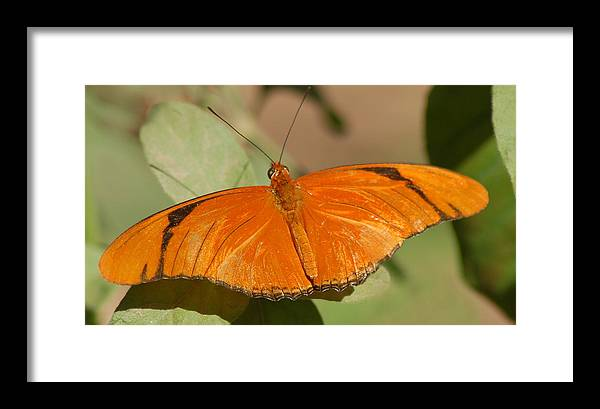 Butterfly Framed Print featuring the photograph Butterfly 1 by Susan Heller